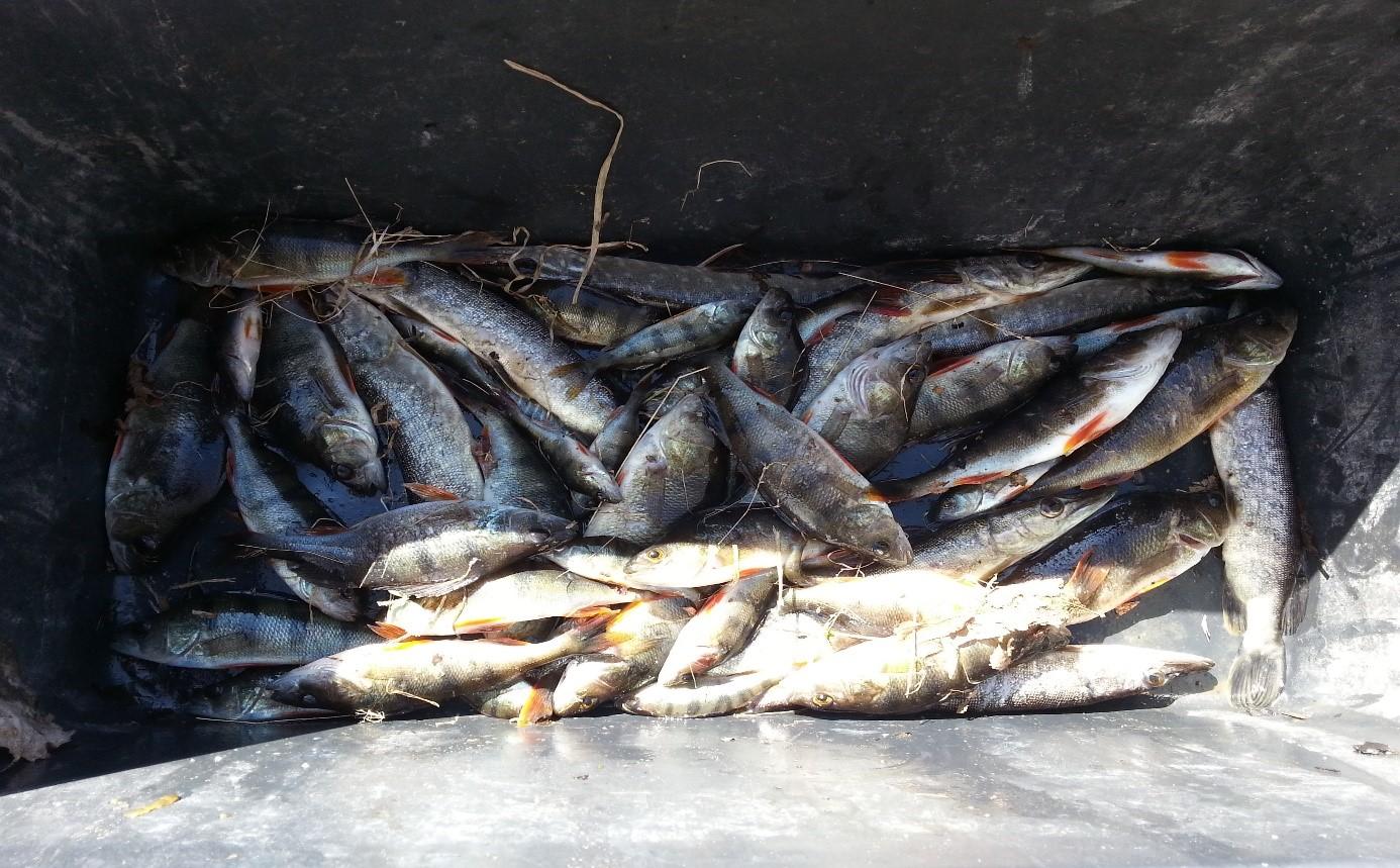 Fig.1. Resultater fra el. fisket i Virikvassdraget oppstrøms og nedstrøms Virikdammen 2018.